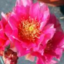 Opuntia 'Mon Cherry' - Bloom