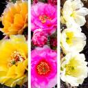 Waterwise Botanicals® Opuntia Cactus Set - Blooms
