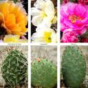Waterwise Botanicals® Opuntia Cactus Set - Varieties