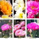 Waterwise Botanicals® Opuntia Cactus Set - 6 Varieties
