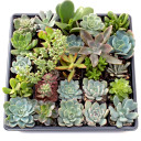 Colors of Winter Succulent Tray - 2in Containers - Alternate Background