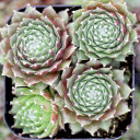 Sempervivum arachnoideum 'Sultan' (Young) - Late Spring
