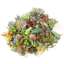 Succulent Unrooted Cuttings - Assorted - Bulk