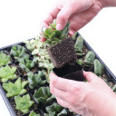 Indoor Succulent Tray - 2in Containers - 5 Varieties - Rooted Plants
