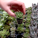 Pastel Succulent 105 Plug Tray - Rooted Plugs