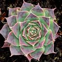 Sempervivum heuffelii 'Millers Violet' - Winter
