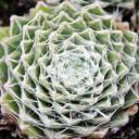 Sempervivum arachnoideum 'f/ Gorges DeDalis'
