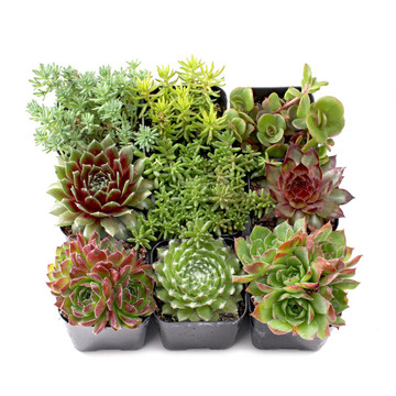 Hand Picked Succulent Sets | Mountain Crest Gardens®