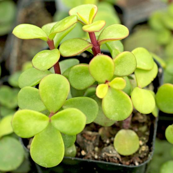 Portulacaria afra 'Decumbent' - Miniature Jade - Winter