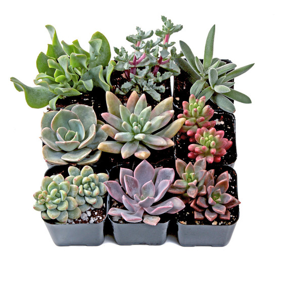 Pastel Succulent Set (9) - Winter