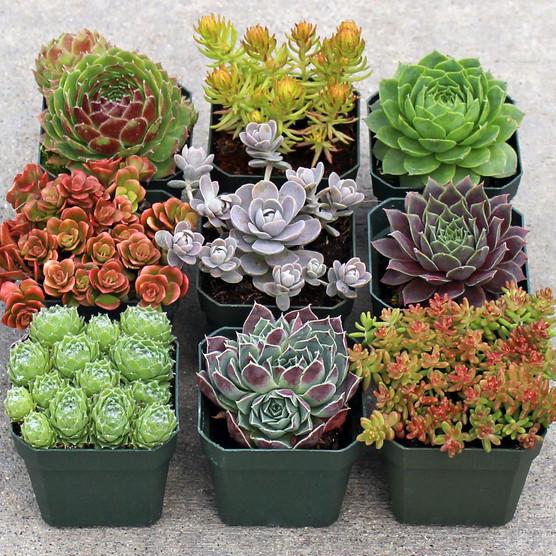 ... Rock Garden Hardy Succulent Set