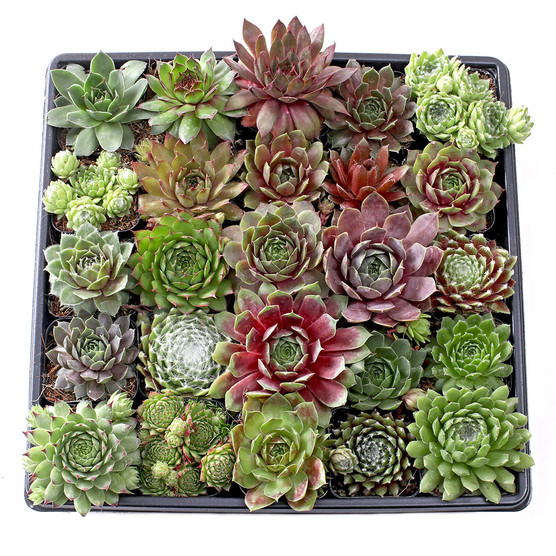 Sempervivum Tray - 2in Containers - 25 Varieties - May