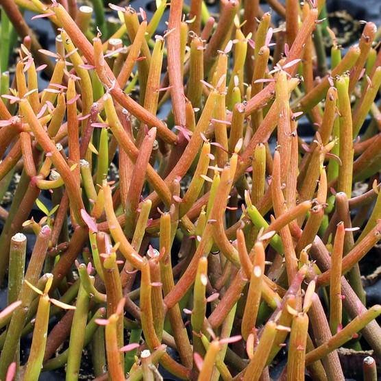 Euphorbia tirucalli 'Sticks on Fire' - Firesticks