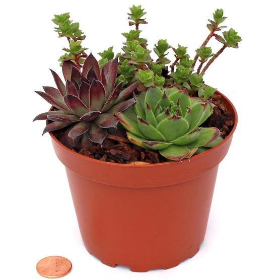 "Hardy Succulents in a Terracotta Plastic Pot - 4"""