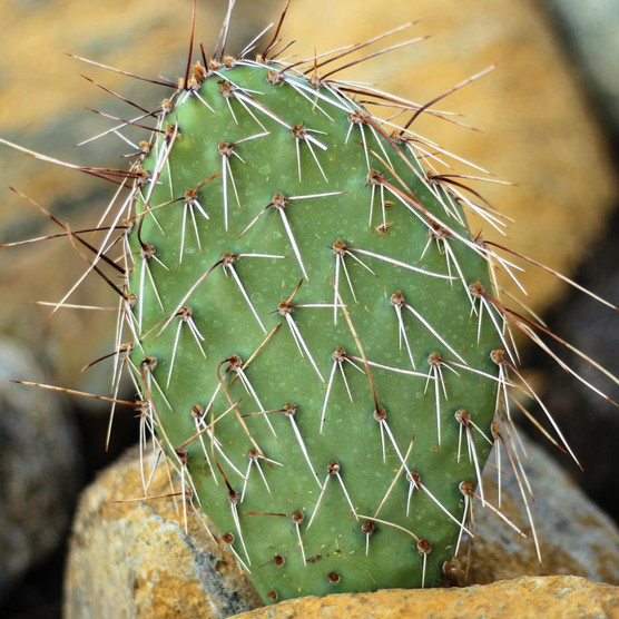 Opuntia 'Fiesta' Prickly Pear - What You Receive