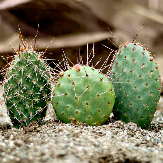 Waterwise Botanicals® Opuntia Cactus Set - Pads As Shipped