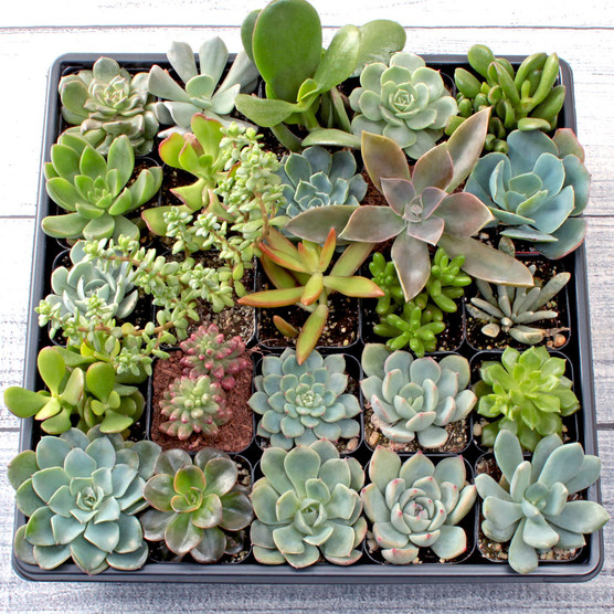 Colors of Winter Succulent Tray - 2in Containers - 25 Varieties