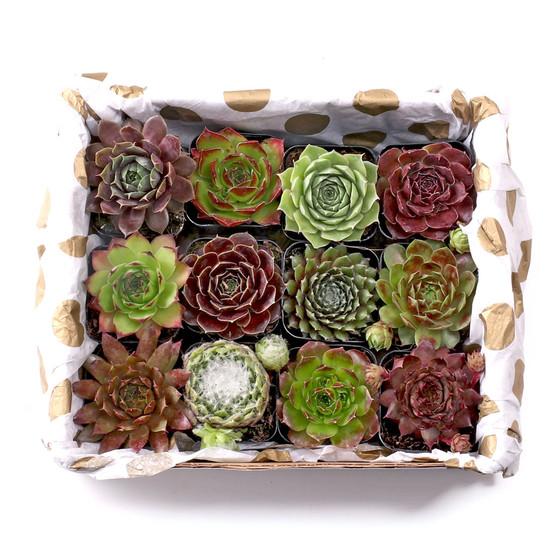 Sempervivum Gift Box - One Dozen 2in Pots