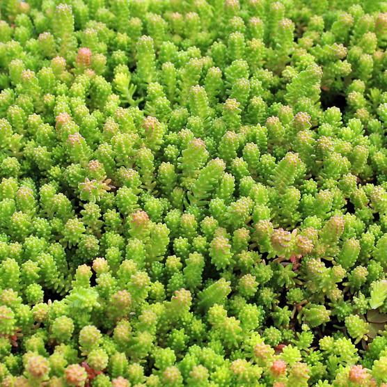 Sedum Sexangulare Mountain Crest Gardens