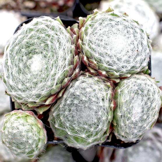 Sempervivum arachnoideum 'f/ Gorges DeDalis' (Young) - April