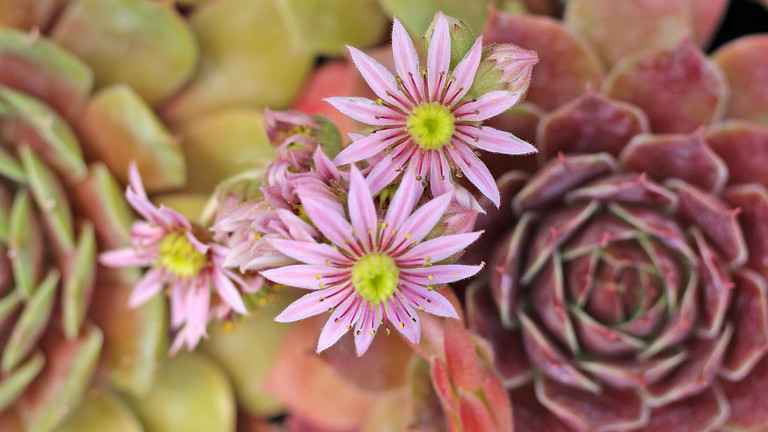 Sempervivum Blooms: A Visual Guide