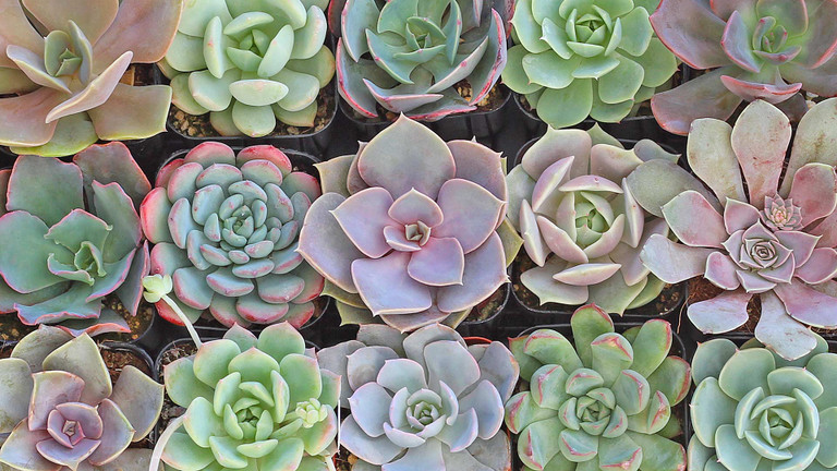 10 Colorful Echeveria for Summer