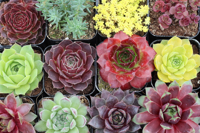 Hardy Succulents with Fantastic Spring Color