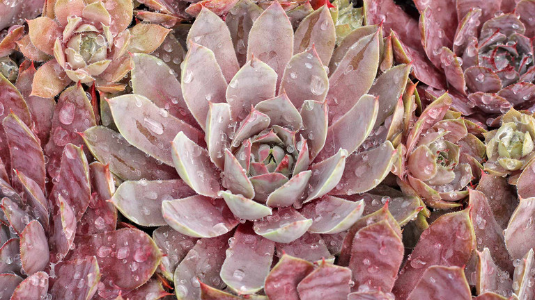 How to Water Hardy Sempervivum and Sedum