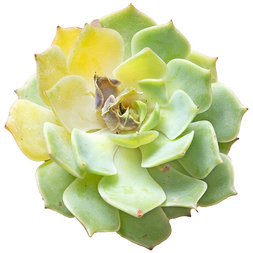 over-watered-echeveria