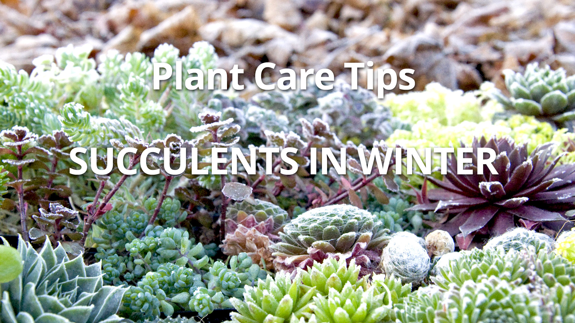 How Winter Cold Affects Succulents