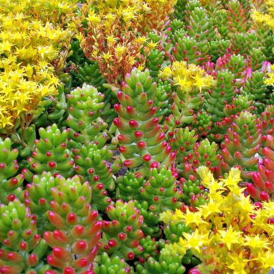Sedum Rubrotinctum Jelly Bean Pork And Beans Mountain