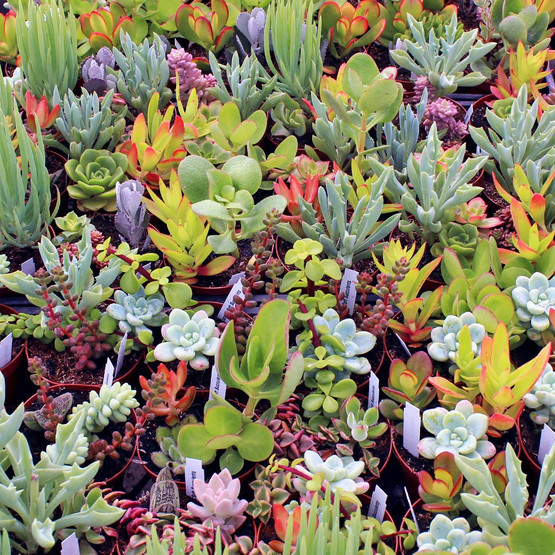assorted soft succulents in a round pot mountain crest gardens. Black Bedroom Furniture Sets. Home Design Ideas