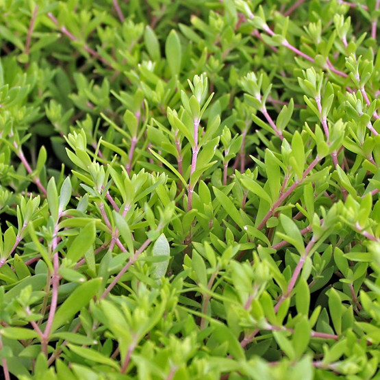 Sedum Sarmentosum Gold Moss Sedum Stonecrop