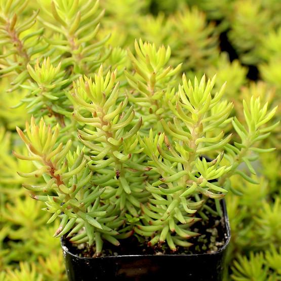 Sedum Reflexum Angelina Mountain Crest Gardens