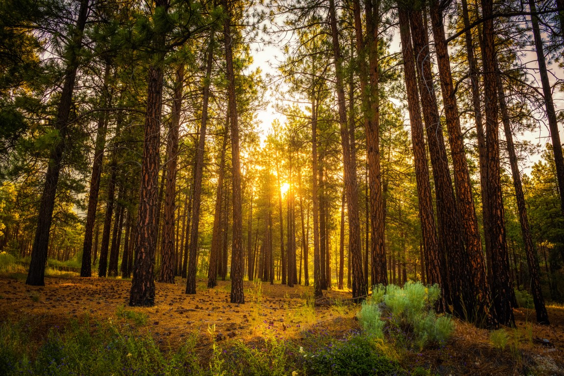 sunrise-in-the-pine-forest.jpg