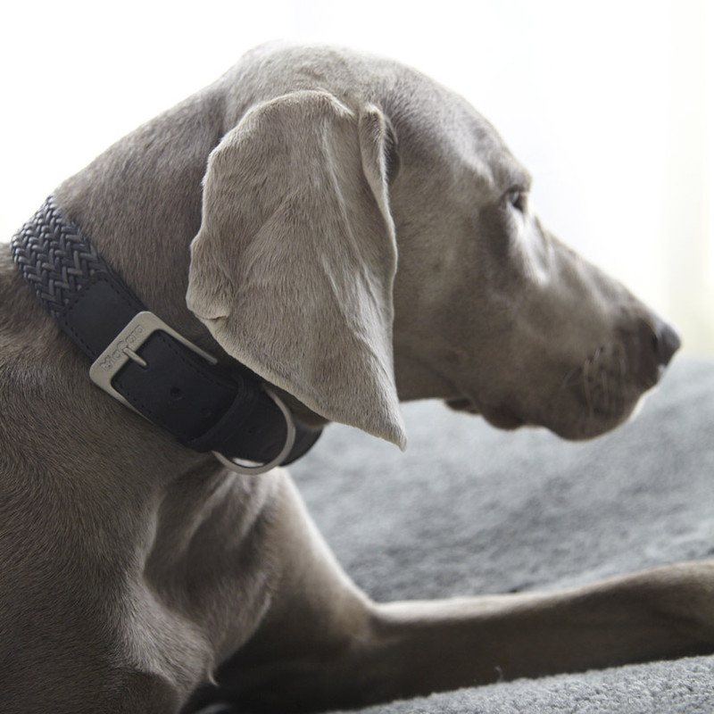 Dog Collar - Firenze Petrol Grey_Walk_ML_Dog Model_www.hugoandotto.com