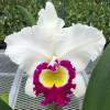 Rlc. Blanche Aisaka 'Yuki' FCC/AOS (Plant Only)