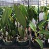 Assorted Mature BUDDED Cattleya (10 Plants)