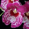Milt. Morris Chestnut (Plant Only)