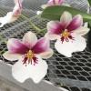 Milt. Princess Diana (Plant Only)