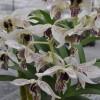 Den. Roy Tokunaga 'Spots' x 'Best Spots' (Plant Only)