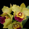 Rlc. Unconditional Love 'Volcano Queen' (Plant Only)
