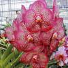 """Ascda. Kulwadee Fragrance '#17' (Plant Only-3"""" hanging)"""