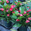 """Anth. Million Flowers Red (6"""" Pot)"""