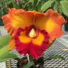 Rlc. Nakornchaisri Delight '#2' (Plant Only)