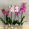Peaceful Phal. Special