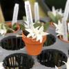 Aerangis fastuosa (in Clay Pot)