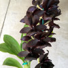 Monn. Millennium Magic 'Witchcraft' AM/AOS (aka The Black Orchid!!)
