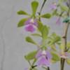 Epy. Serena O'Neill (Plant Only)