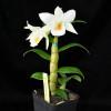 Dendrobium Frosty Dawn Hybrid